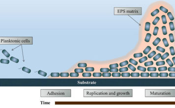 Biofilm-formation-over-time