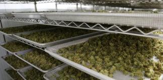 cannabis-storage