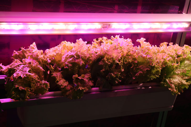 UV Treatment - Lettuce